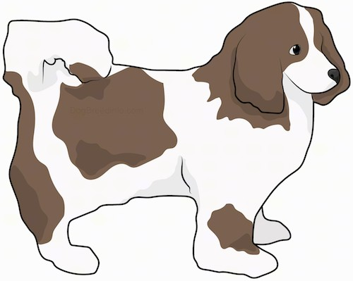 Side view drawing of a small brown and white fluffy dog with its tail curled up over its back, long ears that hang down to the sides, a long thin muzzle, dark eyes and a dark nose standing.