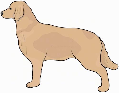 Side view drawing of a large tan, thick coated dog with a long furry tail, ears that hang down to the sides and a long muzzle with a dark nose and dark eyes standing.