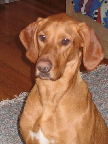 Front view upper body shot of a bright brown dog with brown eyes, long soft ears that hang down to the sides, a brown nose and a little white on his wide chest sitting down on a rug inside of a house.