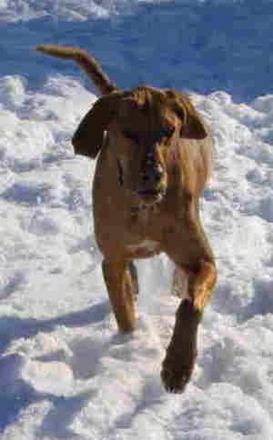 A large breed orange dog with a long snout, long ears that hang down to the sides and a long tail trotting through the snow.