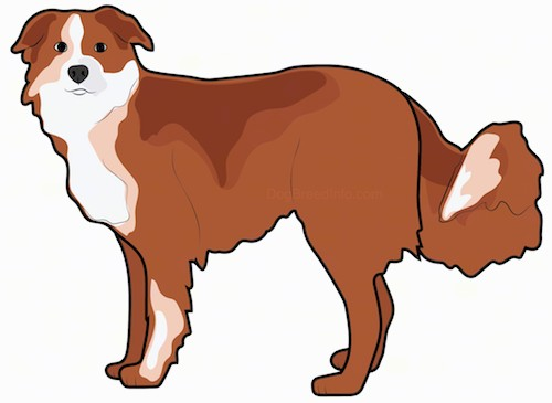 Side view - a drawing of a brown dog with patches of tan and white standing holding his thick long tail low. The dog has a black nose and dark eyes with small ears that hang down on the sides of his head.