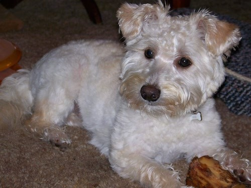 A wavy coated tan dog with small ears that fold over to the front at the tips, a black nose, dark almond shaped eyes and longer hair on her feet, ears and muzzle laying down on carpet with a bone between her front paws.