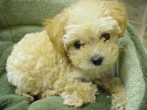 List Of Dogs Good For Apartment Life A Tiny Little Tan Fluffy Soft Coated Wavy Puppy With Black