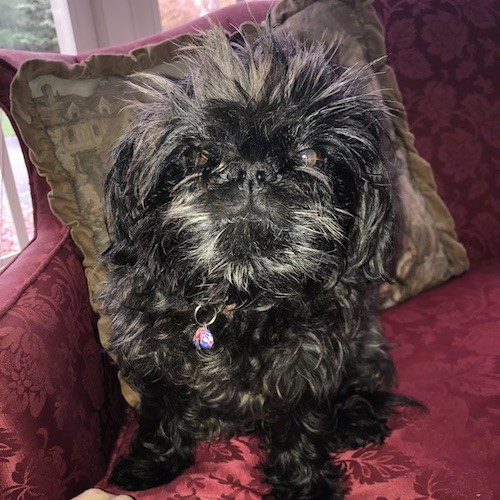 A small, long coated black dog with long hair coming from her head sticking straight up with a wavy coat and a big black nose sitting on a maroon couch