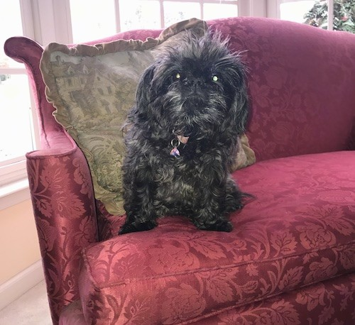 A little black dog with a long wavy coat, dark round eyes and a black nose sitting down on a plum couch in front of a green pillow