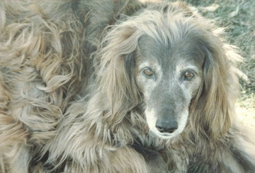 Close up of a graying long haired, red colored dog with shorter hair on her face and very long flowing, wavy hair all over the top of her head, on her long hanging ears and on her body laying down in the grass