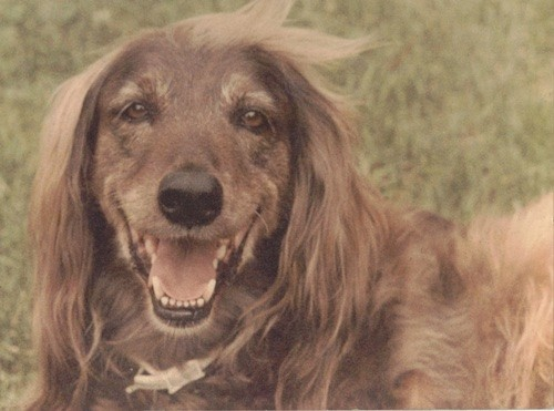 Close up head shot of a red colored, very long haired dog with longer hair on her body and head, with shorter hair on her muzzle and face, copper brown eyes and a black nose laying down in grass smiling