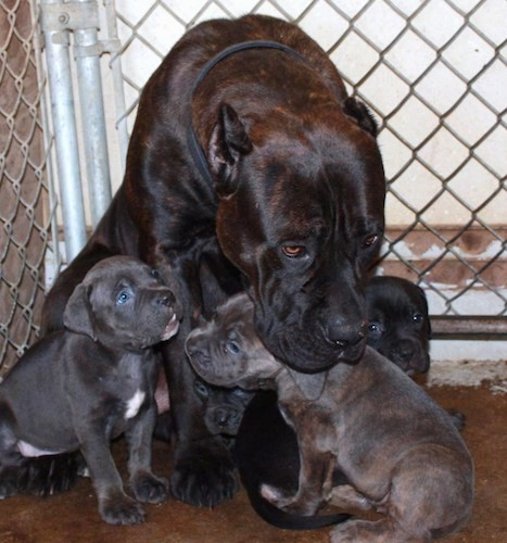 A large breed, black, brown brindle mastiff dog with her head leaning over top of her litter of puppies