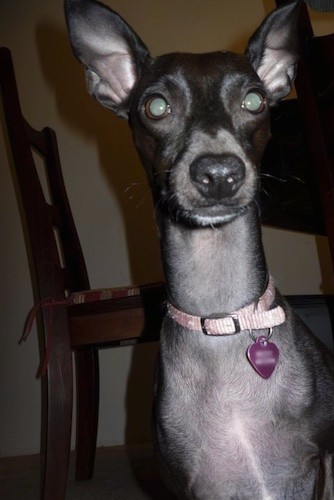 Close up head and upper body shot of a short haired gray looking dog with a very long neck and large prick ears, round eyes and a black nose standing in front of a wooden table and chair in a house