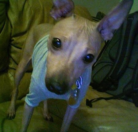 A hairless tan dog with very large prick ears that stand straight up, but black eyes, a black nose wearing a gray shirt standing on a couch with wrinkles between his ears