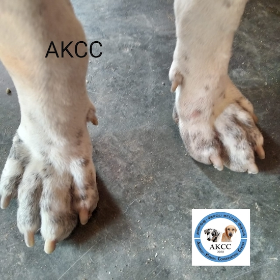 Two large dog paws that are white with gray spots on them with the letters AKCC overlayed on top of the left paw