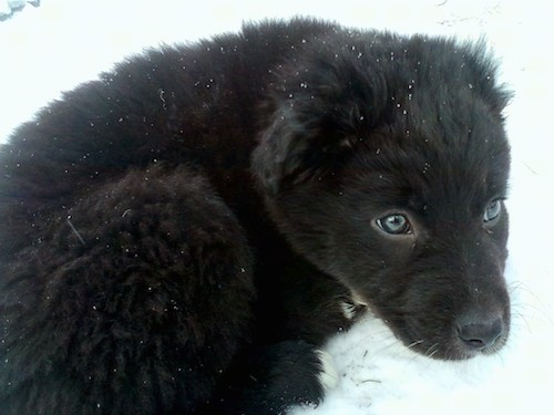 A little, fluffy, thick-coated black puppy with blue eyes laying down outside in the snow