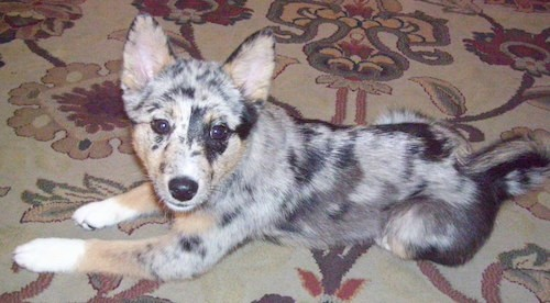 A merle colored gray, black, tan and white dog with prick ears that stand up, a black nose and dark eyes laying down on a tan oriental rug