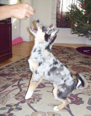 A merle colored little puppy with a fluffy tail jumping up to get a treat that a person is holding inside of a living room with a Christmas tree in the distance