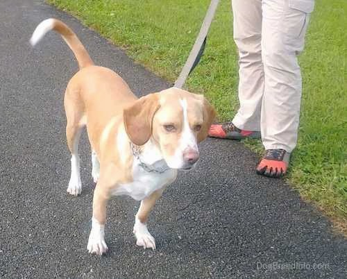 Front side view of a tan hound dog with a white chest, paws, tip of his tail and down the blaze of his snout standing outside next to a person in shoes that are shaped like a foot showing all the toes