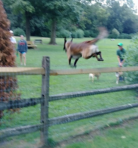A tan with black shepherd dog jumping a split rail fence at a dog park with people and dogs watching at a dog park
