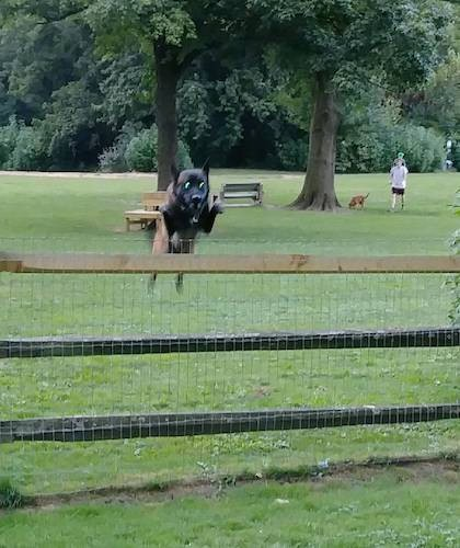 A large breed black and tan shepherd dog jumping a fence at a dog park with dogs and people in the background