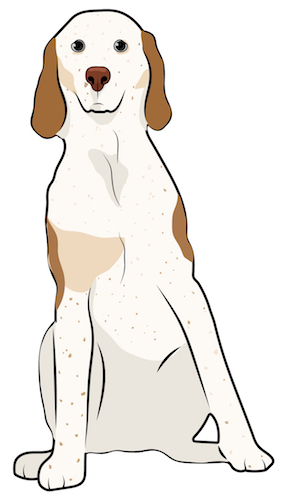 Front view drawing of a tall white with tan hound dog with long ears that hang to the sides and a large brown nose sitting down