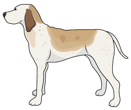 Side view of a tall large breed hound dog with a white coat that has tan and brown ticking and brown ears, a black nose and dark eyes standing