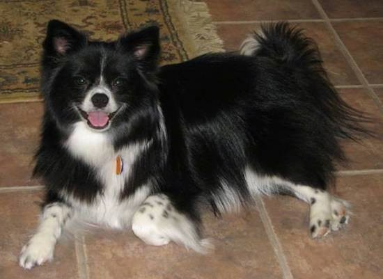 Border Pom Dog Breed Information And Pictures