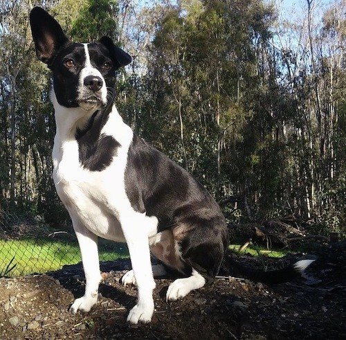 A shorthaired black and white shiny coated dog with one ear up and one ear down sitting in dirt.