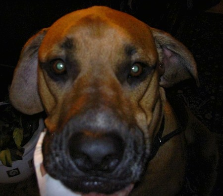 Close up head shot of a tan dog with a black snout and nose and black around his eyebrows, brown eyes with a human hand under his chin