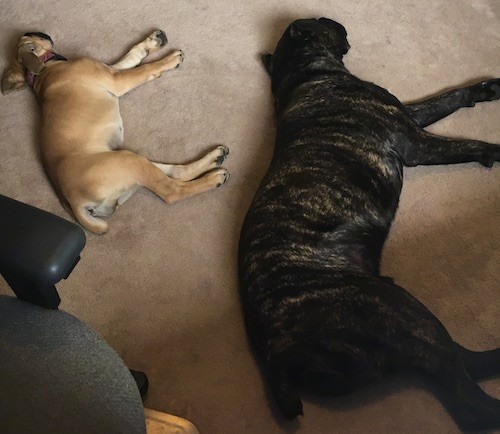Two large breed dogs, a black brindle adult and a tan puppy laying down on a tan carpet sleeping