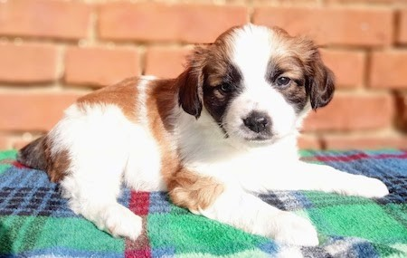 A little brown, black and white puppy laying down on a blue green and yellow blanket outside in front of a brick wall
