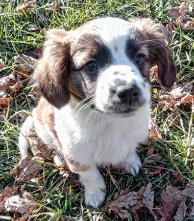 A soft looking little white, black and brown puppy with ears that hang to the sides sitting down in green grass surrounded by brown leaves