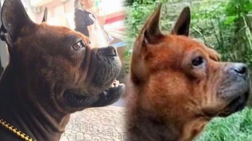 Two dogs side by side of a comparison between the Chongqing Dog and the a Chuandong Hound