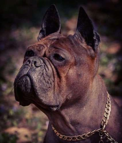 Close-up, side view head shot of a wrinkly faced, red, brown and black dog with a pushed back face and pirck ears that stand up to a poit wearing a gold chain collar