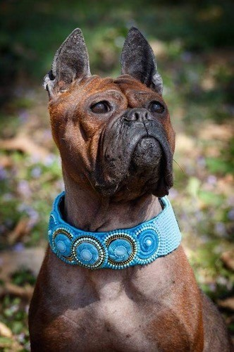 A reddish brown, short coated dog with wrinkles, a black muzzle, dark eyes, a pushed back face and ears that stand up with a thick teal blue collar on
