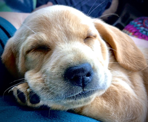 A tan puppy with a big black nose sleeping on her front paw on top of someone's lap.
