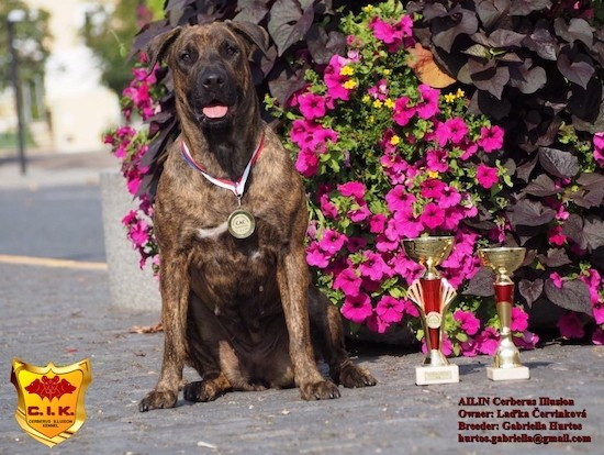 A large brown brindle dog with a wide chest sitting down next to hot pink flowers with a medal around her neck and trophies next to her