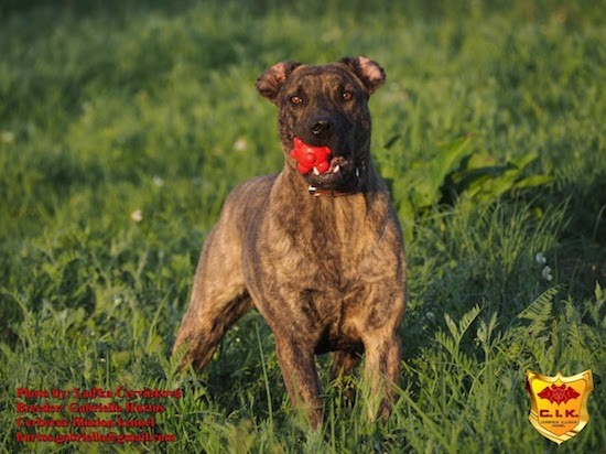 Front view of a brindle dog with cropped ears and a red ball toy in her mouth outside in grass looking alert