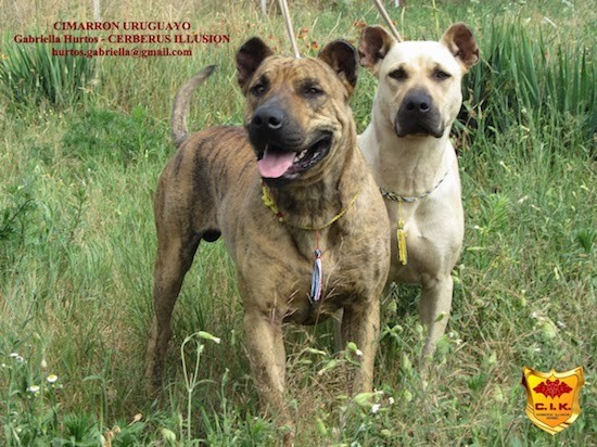 Two large breed tan dogs with rounded ears, wide faces, large black noses and almond shaped eyes standing outside in tall grass