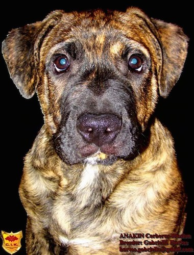 A large breed brindle puppy with wide round eyes, a large black nose and ears that hang down to the sides sitting down
