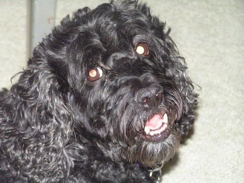 Close-up head shot of a black, wavy-coated curly dog looking happy with is white teeth showing as he smiles.