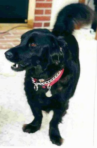 A large breed low to the ground, dog with a thick black coat and long tail with very short legs in ratio to her body standing inside a house in front of a brick fireplace