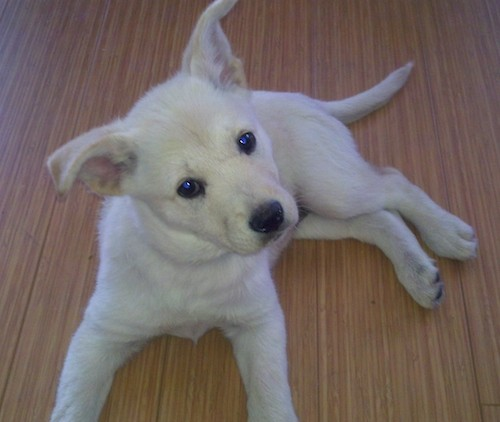 A white puppy with ears that bend up and out to the sides with dark eyes and a black nose laying down on a hardwood floor looking up
