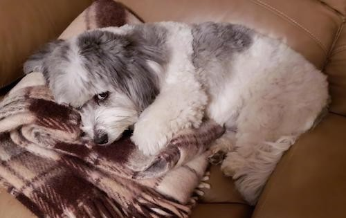 A small soft thick, wavy coated little white and gray dog laying down on a brown plaid blanket on a tan leather couch