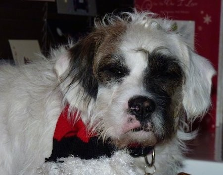 Close up head shot of a long, wavy haired white dog with brown and black patches on her face wearing a red and black bandana laying down in a house