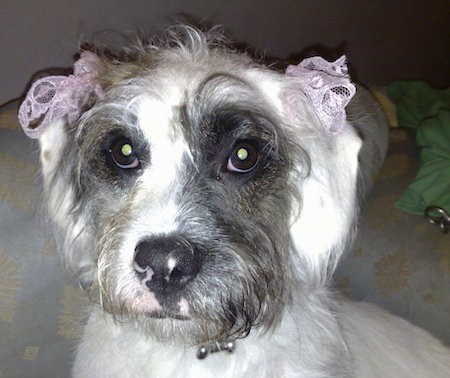 Close up head shot of a long haired white, brown and black dog with pink ribbons tied at each ear and wide brown eyes sitting down on a white and yellow couch
