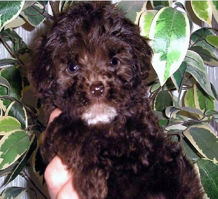 A fluffy little dark brown and black little dog with round dark eyes and a small brown nose being held in the air by a person in front of a green house plant
