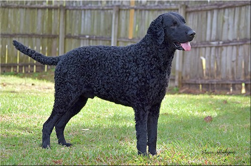 Side view of a shiny-coated black dog with soft gentle eyes, a large black nose and curly hair on his body standing in grass with a tall wooden privacy fence in the distance.