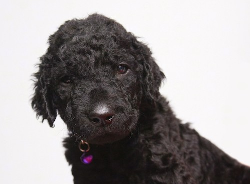 Close up head shot of a little black puppy with a tight wavy coat, ears that hang to the sides, a black nose and black eyes.