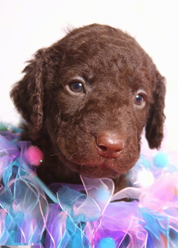 Close up head shot of a brown little puppy with wavy hair, a brown nose and brown eyes with purple, pink and blue lace around her neck