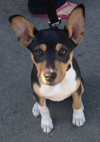 Looking down at a little black, tan and white tricolor puppy with large prick ears and brown eyes sitting down on pavement with a person in pink flip flops behind him holding his leash
