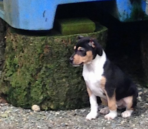 A little tricolor puppy sitting down outside facing the left