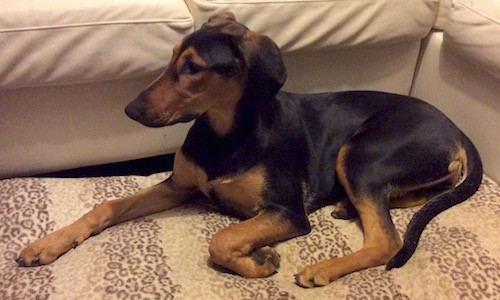 A black and tan, slim looking tall dog with a long muzzle that has a shallow stop, ears that fold to the sides and a very long tail laying down on a tan rug next to a tan couch looking to the left